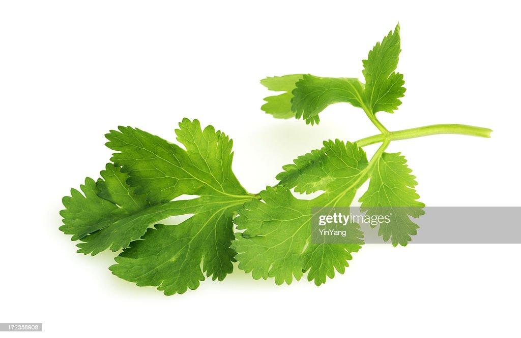 Cilantro Herb Leaf, a Fresh Vegetable Garnish and Seasoning Spice