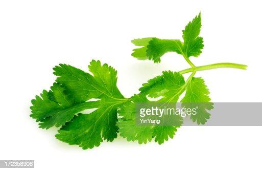Coentro folha de ervas frescas, uma guarnição de Legumes e especiarias Tempero