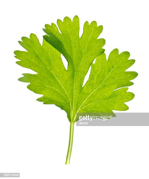 """Cilantro """"Leaf"""