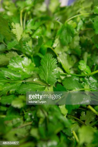 Cilantro : Stock Photo