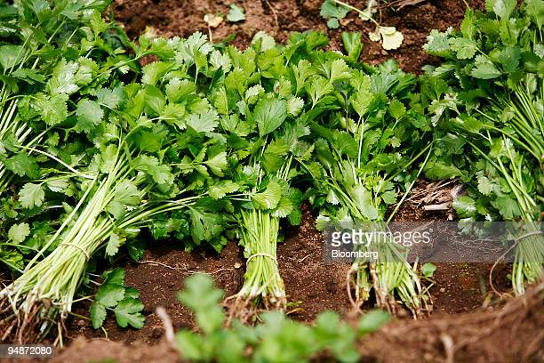 Cilantro sits on the ground after being picked and banded in a field near Cartago Costa Rica on Wednesday July 23 2008 Rising use of biofuels is...