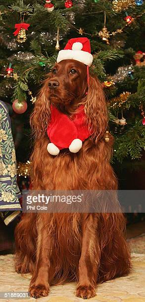 Cinder the Red Setter poses by the christmas tree wearing a miniature father christmas costume December 22 2004 in Surrey England Animal lovers will...