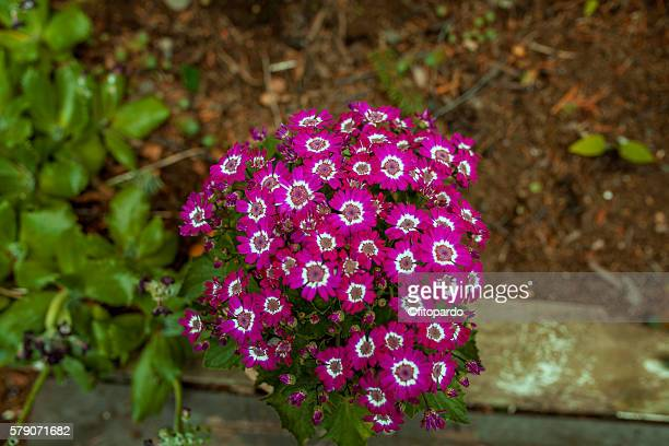 Cineraria flower in Akureyri