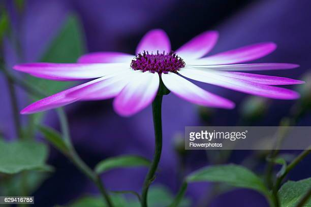 Cineraria Pericallis x hybrida Senetti baby Magenta Bicolor 'Sunseneribuba' Close side view of a flower fully open showing the purple tipped white...