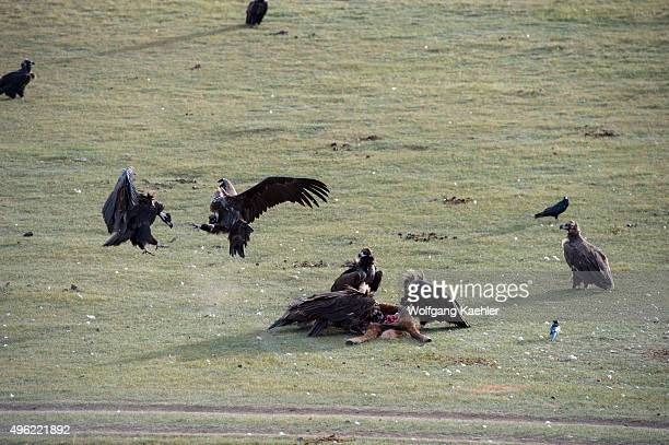 Cinereous vultures and Himalayan vulture or Himalayan griffon vulture feeding on a dead horse in the Orkhon Valley near Kharakhorum in Mongolia