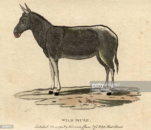 A wild mule a cross between a horse and a donkey