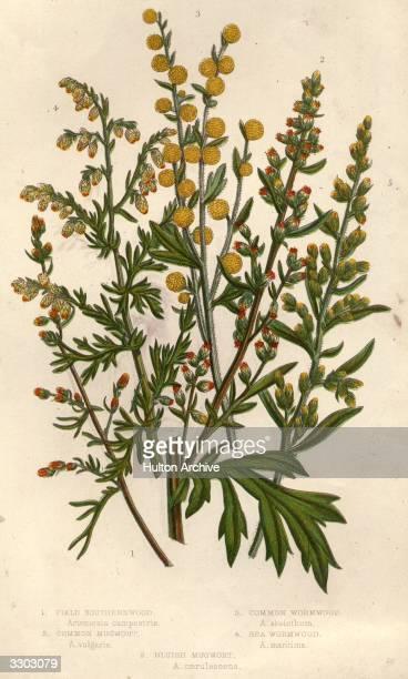 Clockwise field southernwood sea wormwood common wormwood common mugwort bluish mugwort