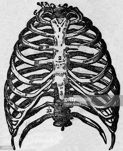 Anatomical diagram of the human ribcage from an early medical textbook Parts of the sternum are numbered