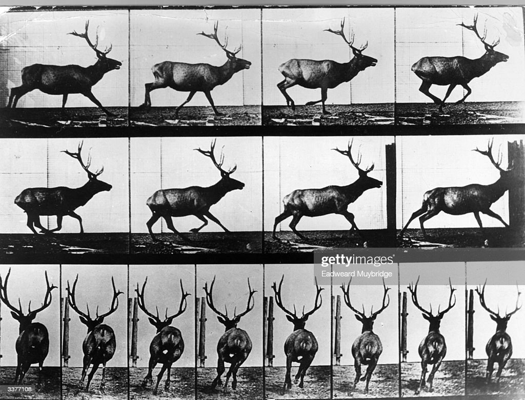 A photographic study of the movements of a roaming stag using quick succession time lapse photography, by Eadweard Muybridge. Original Publication: From 'Animal Locomotion' - pub. 1887.