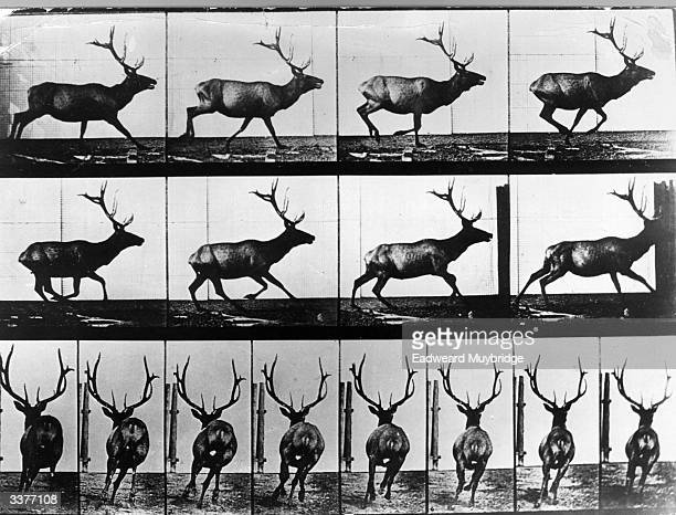 A photographic study of the movements of a roaming stag using quick succession time lapse photography by Eadweard Muybridge Original Publication From...