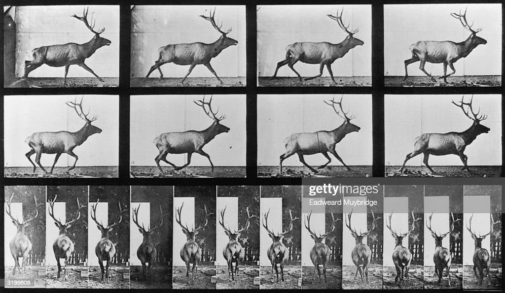 Sequence of stop-action images of a stag with large antlers galloping, taken from two different perspectives. Titled 'Elk in Irregular Gallop (.59 Second).' Original Publication: From 'Animal Locomotion' - pub. 1887.