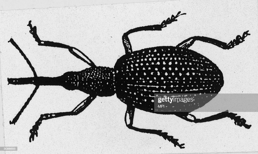 The boll weevil which devastated crops throughout the southern states of America