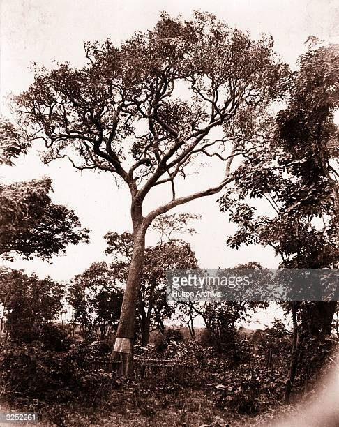 The site at Chitambo Lake Bangweulu Zambia where Scottish explorer Dr David Livingstone's heart lies buried The portion of the tree carrying the...