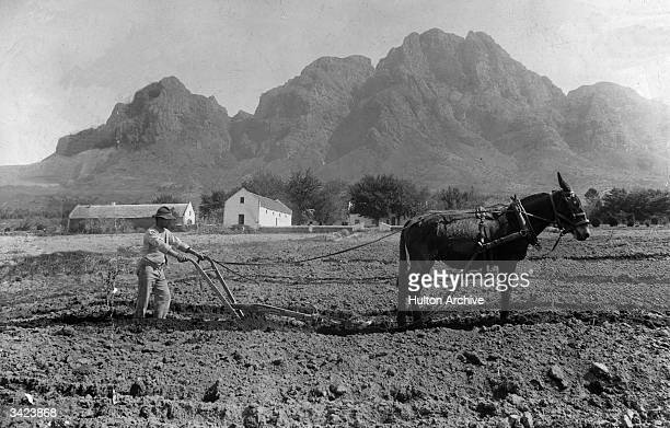 Tilling the ground with a plough drawn by a mule at Rhodes' fruit farm near the Paarl in the Western Cape South Africa