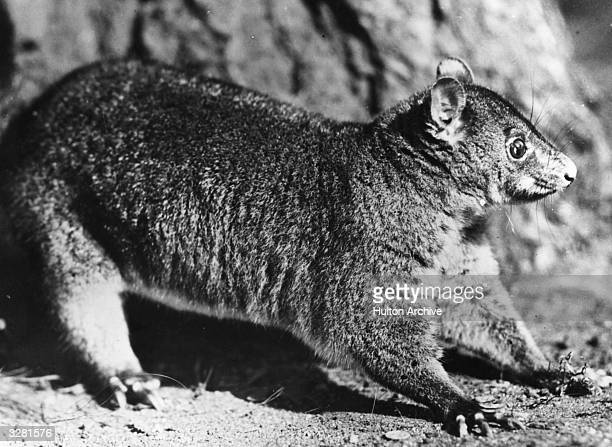 A shorteared mountain opossum known for its ability to feign death when in danger