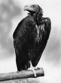 The black vulture also known as the 'carrion crow'