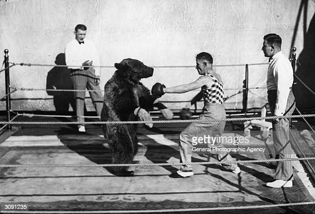 In a boxing ring a bewildered muzzled and gloved bear is having a 'match' with a boxer