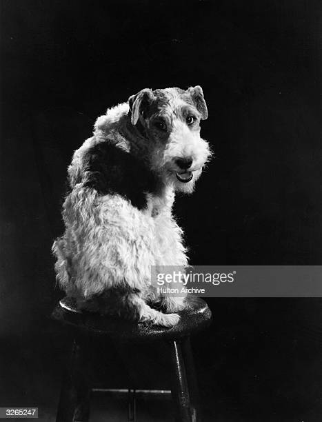 Asta II the talented canine actor who appeared in 'The Thin Man' series of comedy detective films His father originally had the part but died halfway...