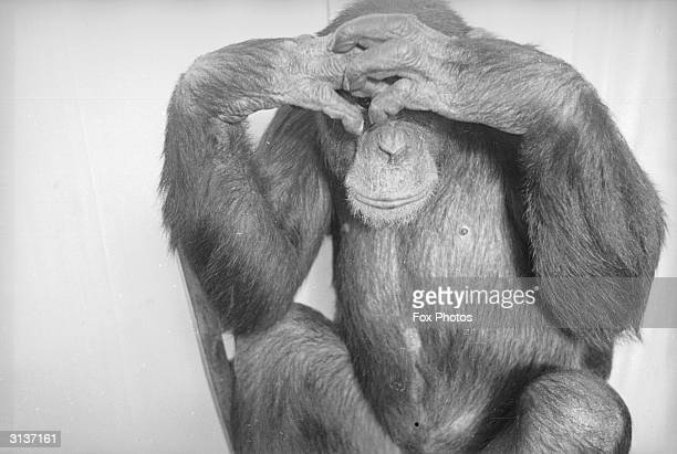 A chimpanzee called Jackie peeks out from behind clasped fingers