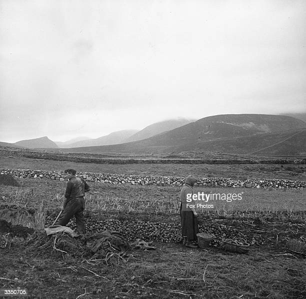 A farmer and his wife putting their crop of potatoes into clamps in the shadow of the Mourne mountains in County Down