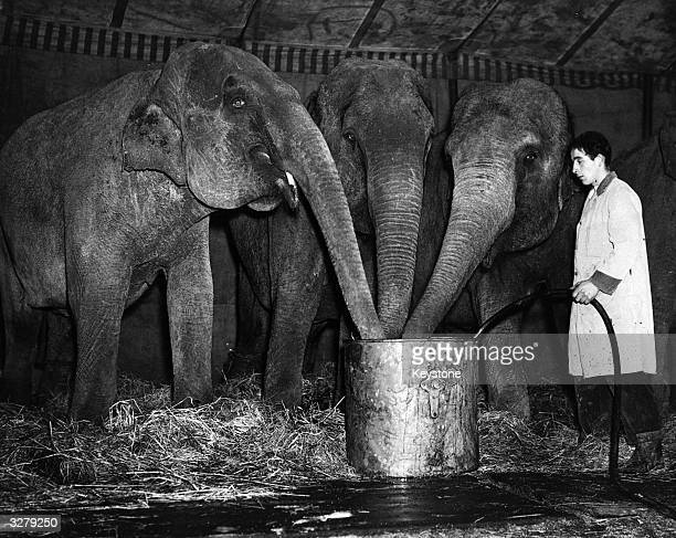 Three elephants place their trunks in a bucket of water which their keeper fills from a hosepipe