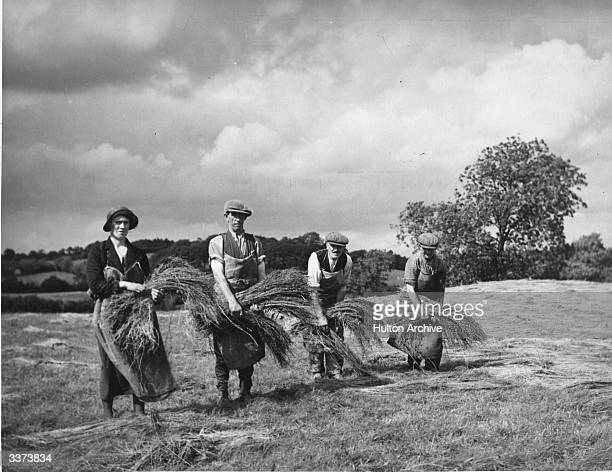 Irish agricultural workers spreading out flax to dry in the field