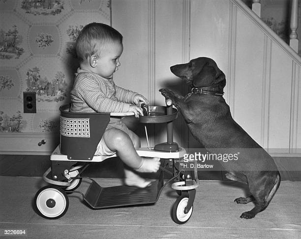 Fulllength image of a baby sitting in a cart as a dachshund faces him begging with his paws up on the vehicle