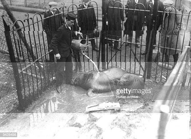 The first walruses for 40 years at the London Zoo being 'watered down' by a keeper while the crowds watch