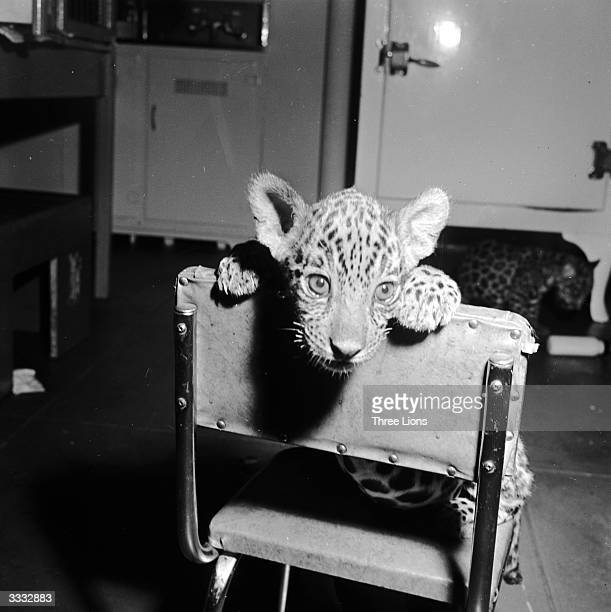 A baby jaguar sitting on a chair in the nursery of Bronx Park Zoo New York