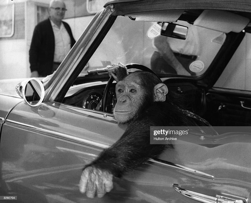 A chimpanzee, called Chee-Chee, at the wheel.