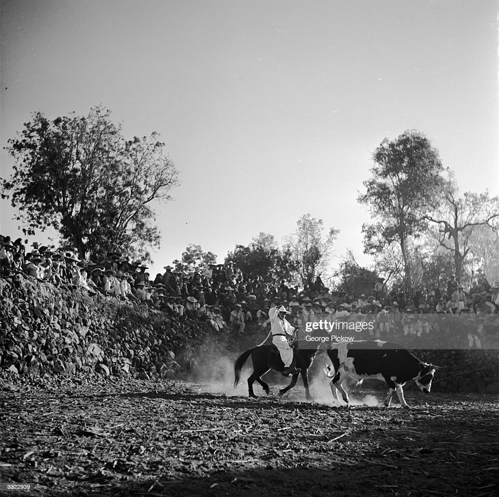 A Mexican charro rides behind a bull on a pony ready to lasso its back legs whilst a crowd looks on
