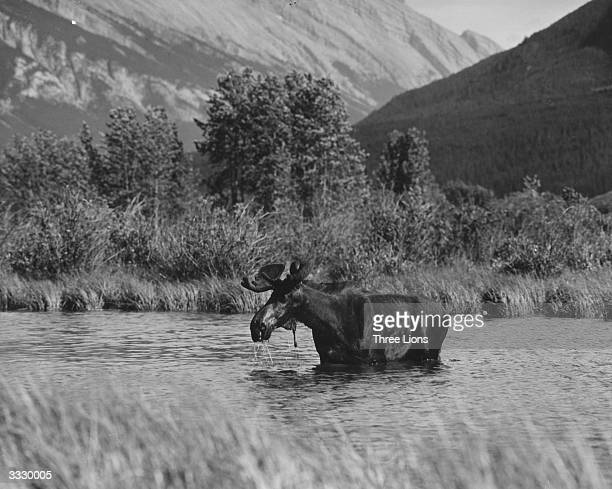 A moose in Lake Vermillion in Banff Alberta