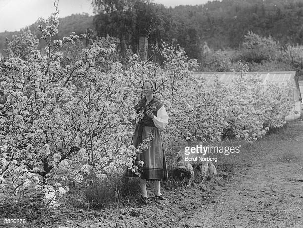 A woman and her dog inspecting the flowering pear trees at a fruit plantation in the small Swedish town of Granna at the foot of the high mountain...