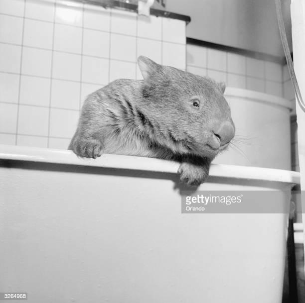 A wombat an Australian herbivorous burrowing marsupial