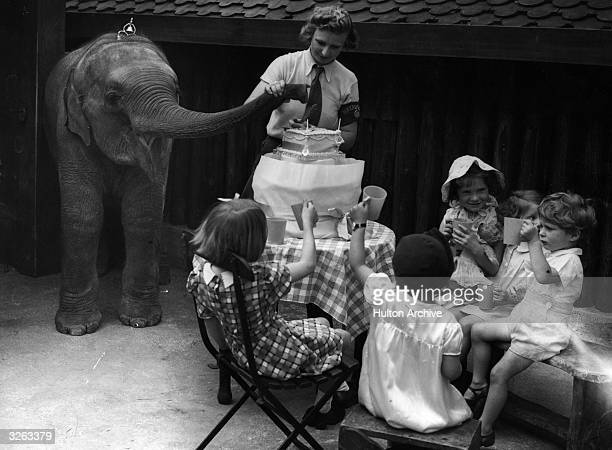 An Indian baby elephant at the zoo entertains some young friends at a birthday party but needs some assistance from a keeper to cut the cake