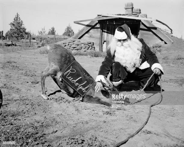 Santa Claus plays with Rudolph on the John Zumstein reindeer farm near Redmond Oregon the largest reindeer farm in America