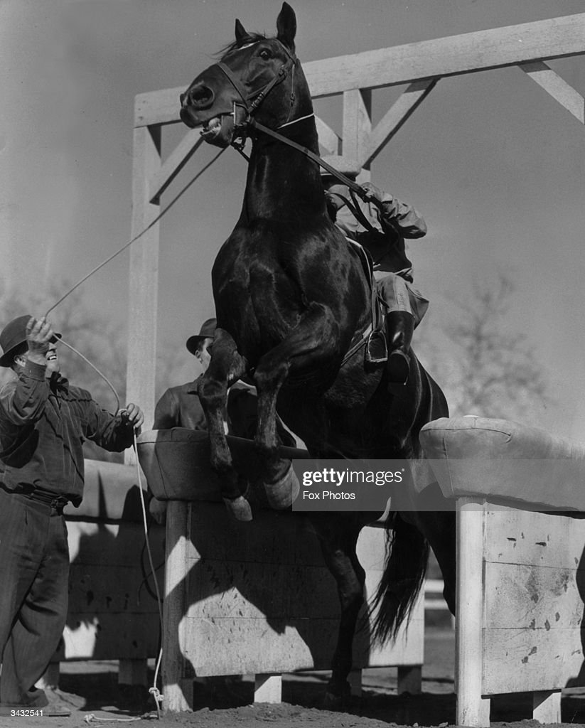 The blind racehorse 'Elmer Gantry' struggling to avoid being put in a starting gate, during the filming of 'The Great Gantry'.