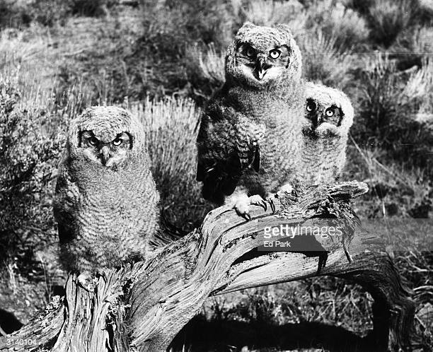 Three young Great Horned Owls still retain some of their fluffy baby feathers