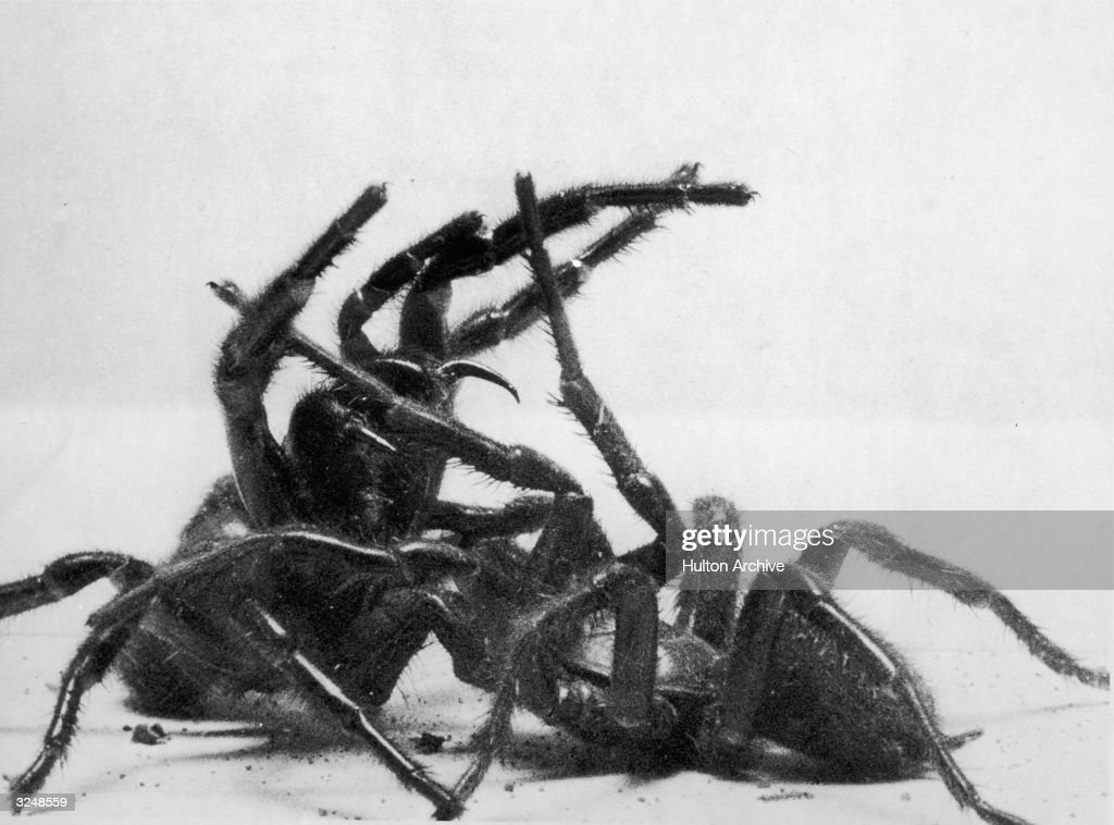 Two large spiders demonstrate aggressive behaviour toward each other