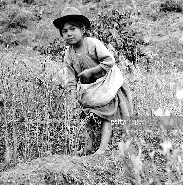 A child of seven works hard during the coca harvest in the Bolivian Mountains near Chulumani Youngsters from poverty stricken families are pressed...