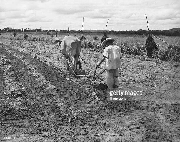 A farmer in Paraguay ploughing a field where he is growing black velvet beans with lemon grass in a barrier strip on the right and intermittent...