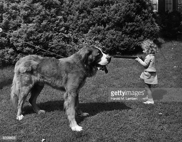 A little girl points a toy rifle at a large St Bernard dog on a lawn outdoors