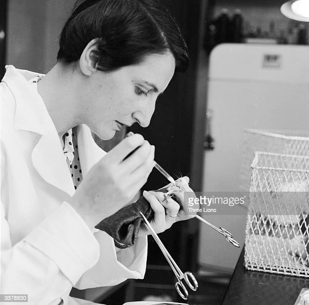 A scientific researcher feeding a newborn guinea pig with pastuerised milk as part of an allergy research project at New York Medical College New...