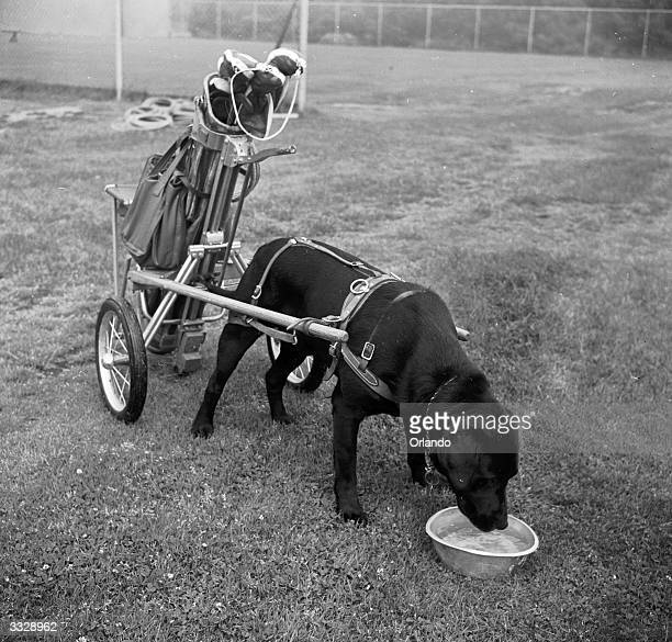'Dracula' the canine caddy takes a well earned drink of water at the ninth hole