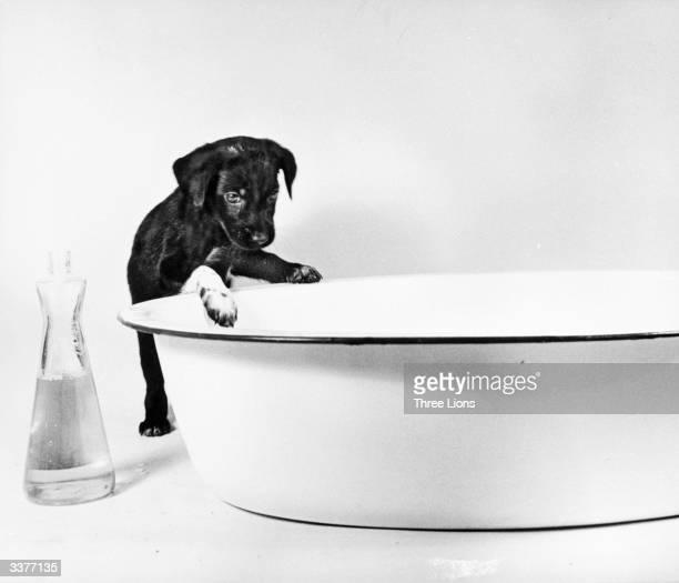 A curious labrador puppy peering in to an enamel dog bath