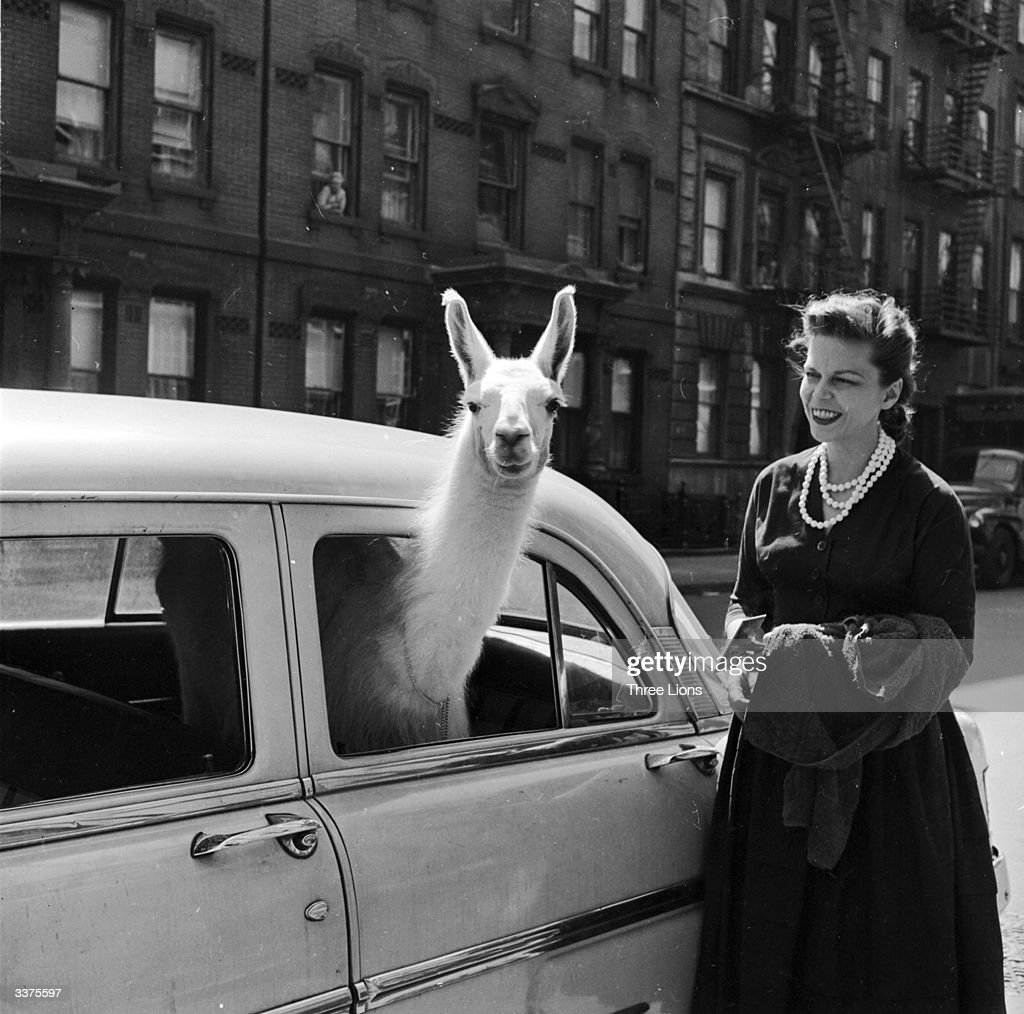 A llama sticking its head out of a car window in New York