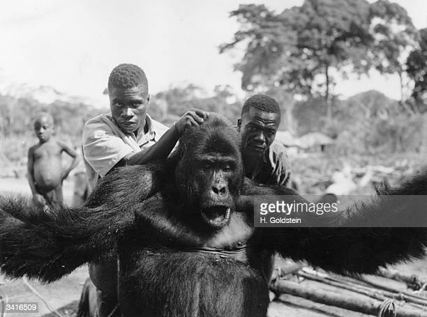 A gorilla being marched along immediatedly after its capture in the Belgian Congo
