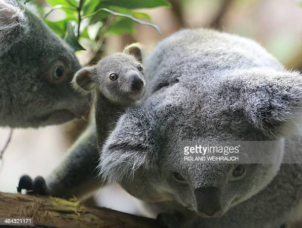 A circa six months old female baby koala and her parents are pictured on January 22 2014 at the zoo in Duisburg western Germany The baby koala was...