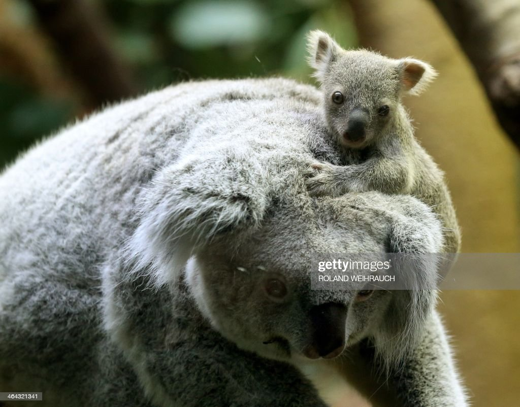 A circa six months old female baby koala sits on her mother's head on January 22, 2014 at the zoo in Duisburg, western Germany. The baby koala was taken out of its mother's pouch for being weighed - it has 350 grams. AFP PHOTO / DPA / ROLAND WEIHRAUCH / GERMANY OUT