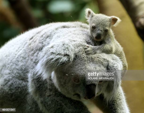 A circa six months old female baby koala sits on her mother's head on January 22 2014 at the zoo in Duisburg western Germany The baby koala was taken...